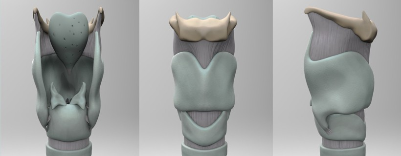 Three views of the bone structure of the human larynx